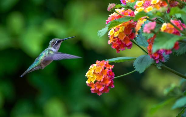 hummingbird - kolibri bildbanksfoton och bilder