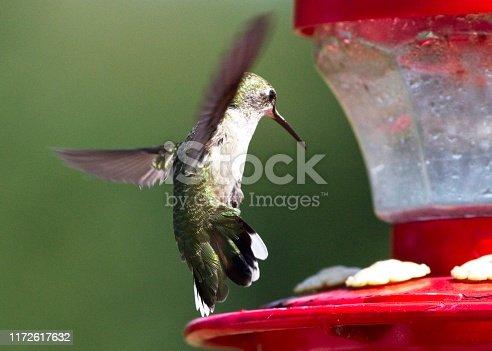 Hummingbird landing on feeder.