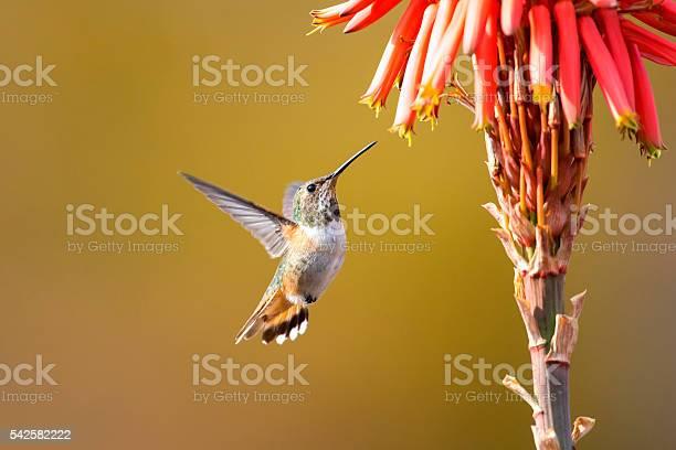 Hummingbird picture id542582222?b=1&k=6&m=542582222&s=612x612&h=f290a1sw u jskwy89nk 0zkirlwall6oa4zaxlbnu8=