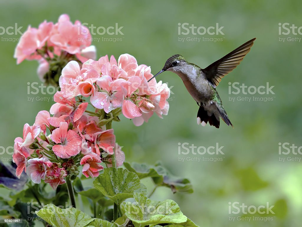 Hummingbird royalty-free stock photo