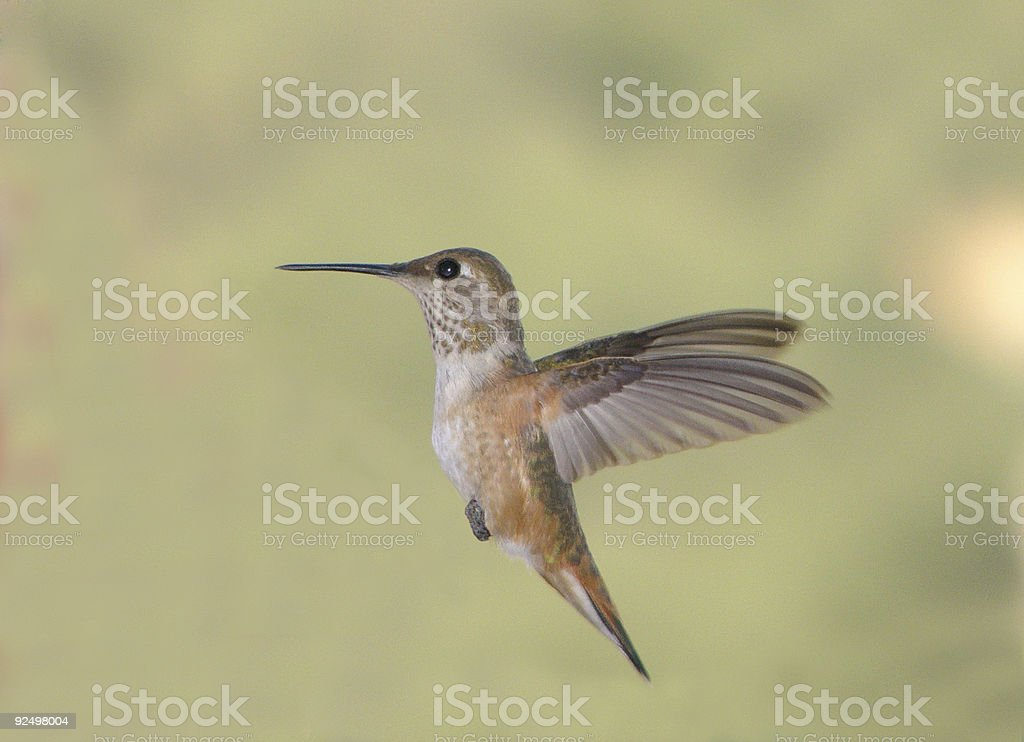 Hummingbird royalty-free stock photo