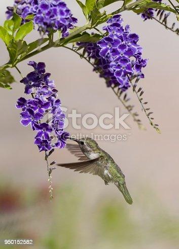 A hummingbird gathering breakfast