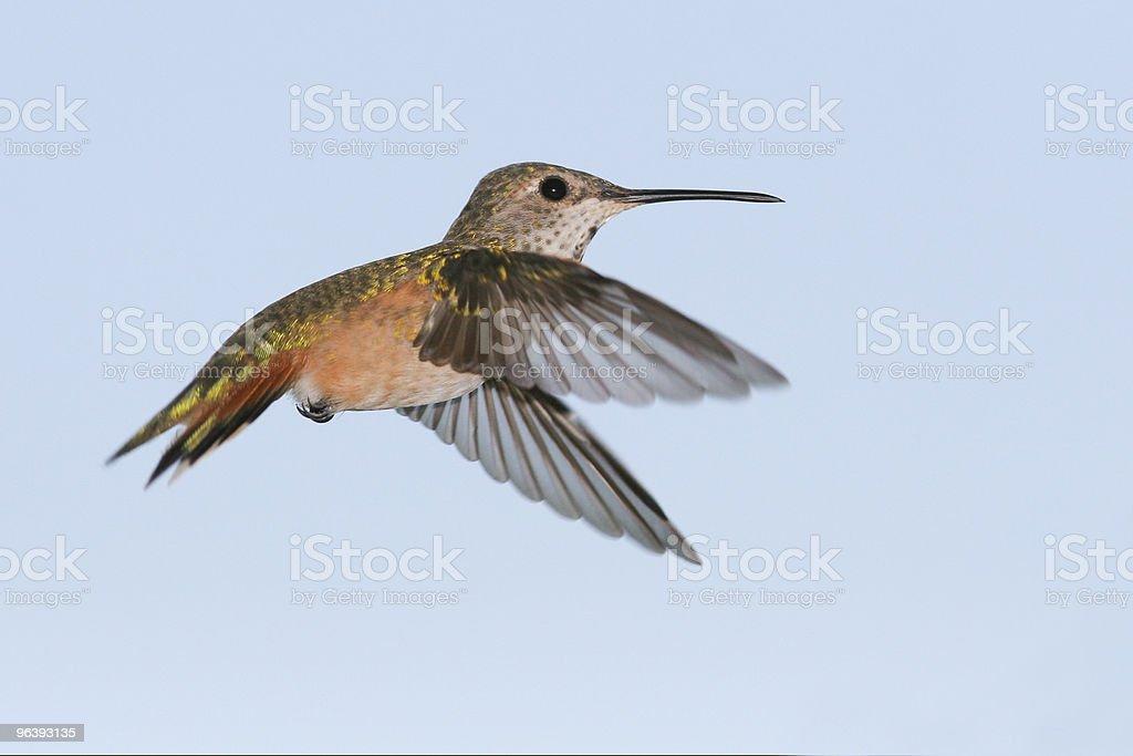 Hummingbird - Royalty-free Alertness Stock Photo