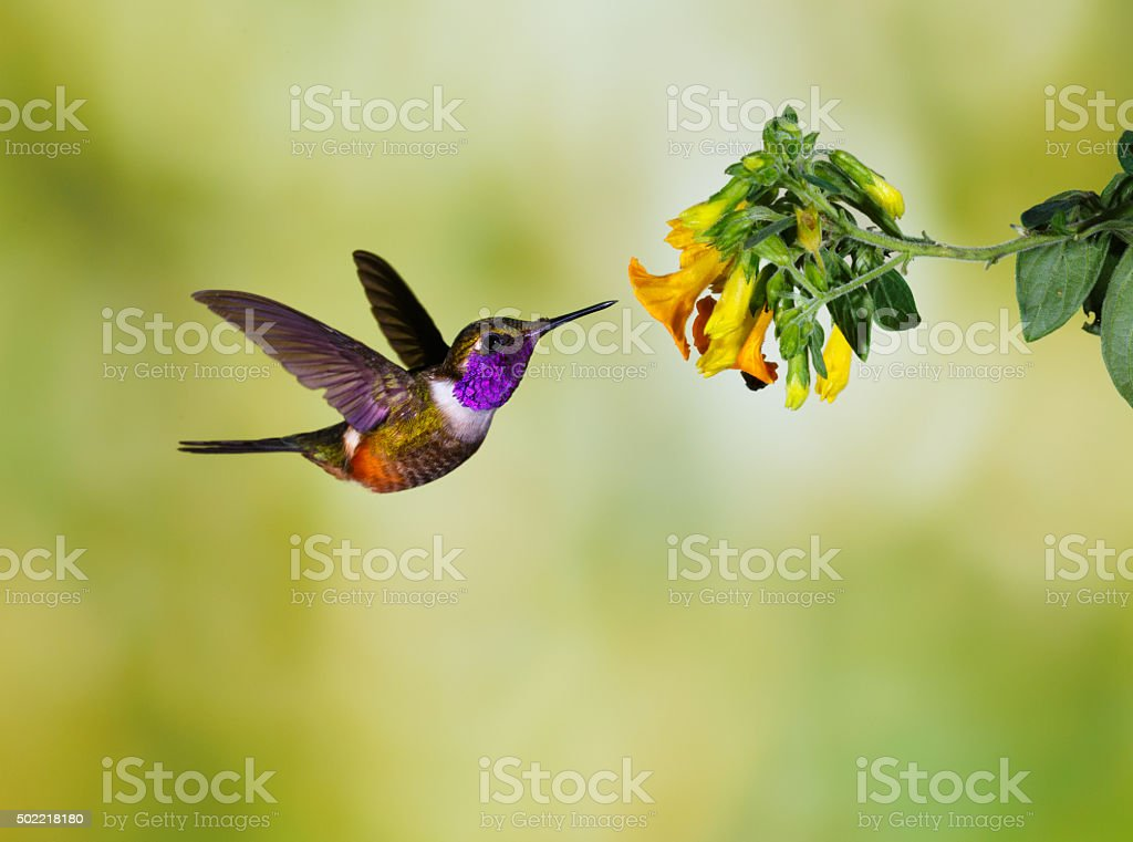 Hummingbird , Purple-throated Woodstar stock photo