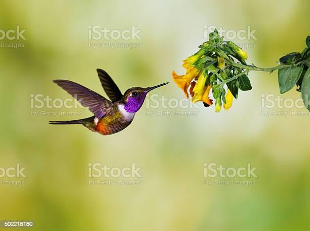 Photo of Hummingbird , Purple-throated Woodstar