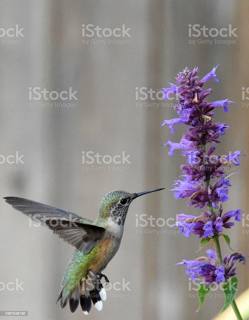 Hummingbird Ready stock photo
