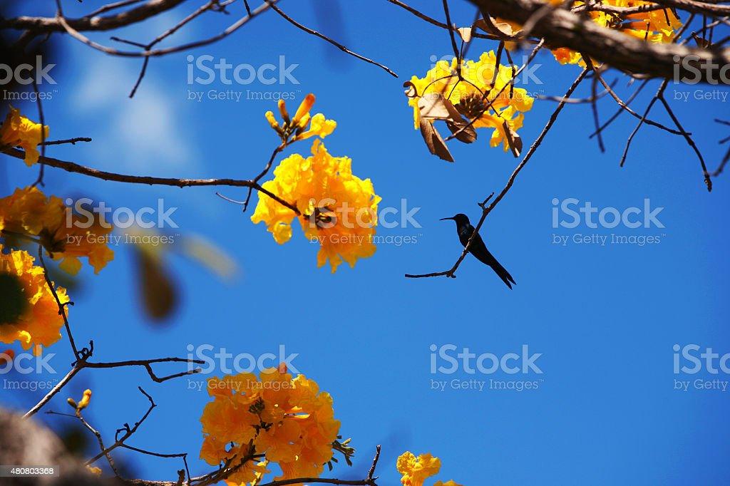 Hummingbird repousa em um Amarelo, Amarelo do Ipê árvore do Cerrado foto royalty-free