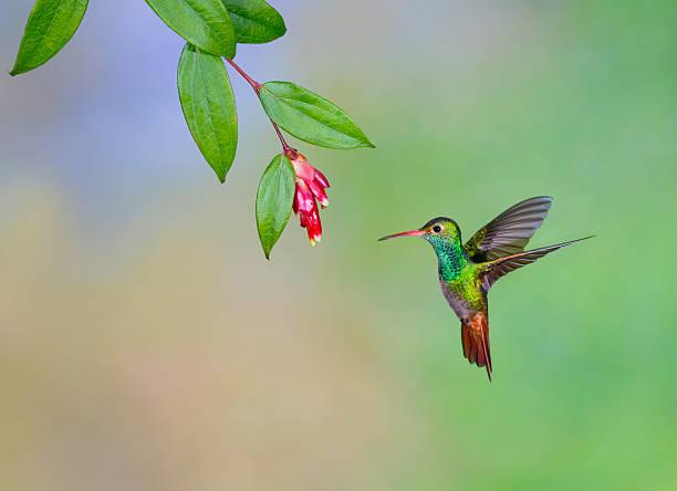 hummingbird , rufous-tailed - kolibri bildbanksfoton och bilder