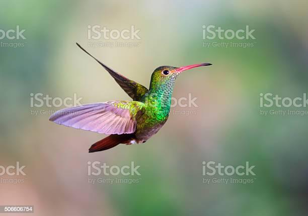 Hummingbird rufoustailed picture id506606754?b=1&k=6&m=506606754&s=612x612&h=txwohlfuhgifo3zalsufehsmsxsb8tibb57kkgbiyic=