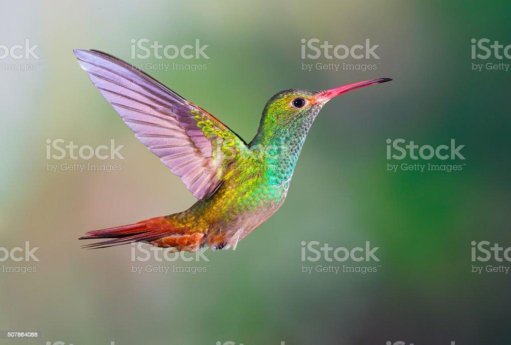 Hummingbird , Rufous-tailed royalty-free stock photo