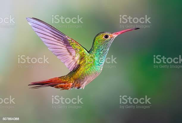 Hummingbird rufoustailed picture id507864088?b=1&k=6&m=507864088&s=612x612&h=9 7jvelixyyuc9wma7up8ybstw6ngdn it44lc8p2qg=