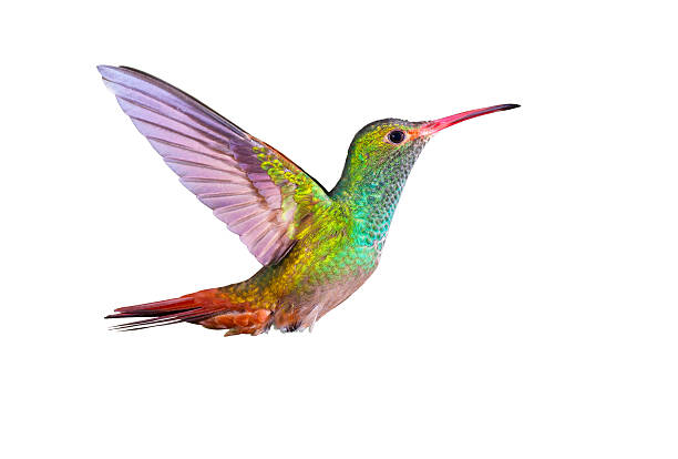 Hummingbird , Rufous-tailed stock photo