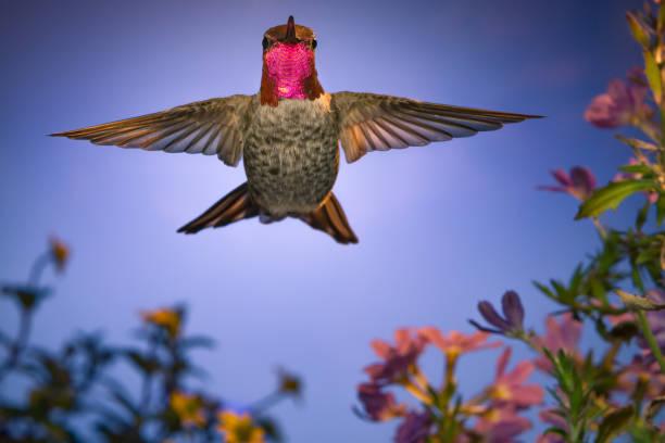 Hummingbird stares at Camera stock photo