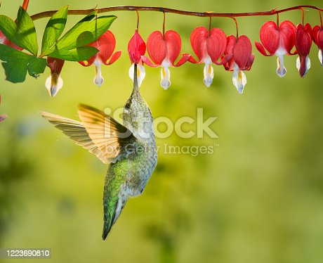istock Hummingbird visiting bleeding heart flowers 1223690810