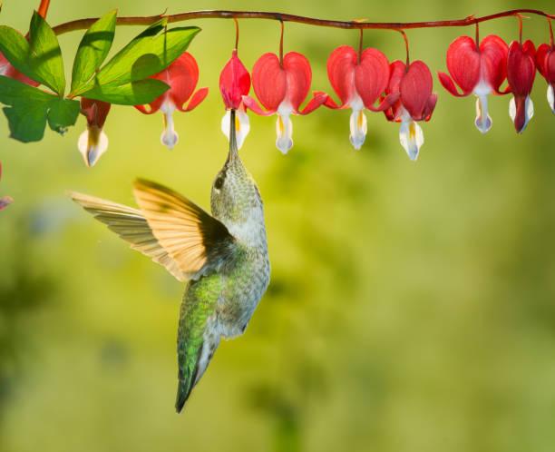 Hummingbird visiting bleeding heart flowers stock photo