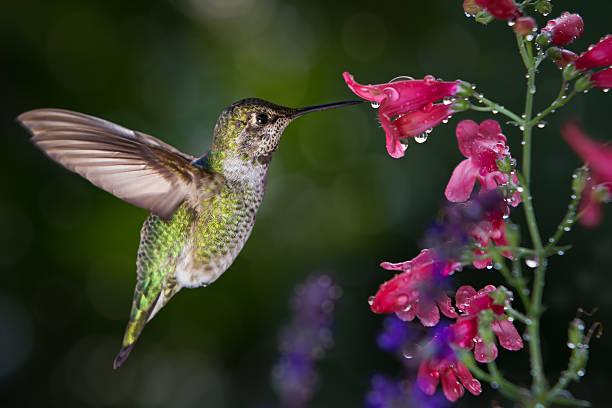 Hummingbird visits flowers with raindrops stock photo