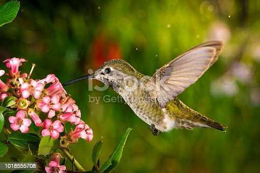 This is a photo of a hummingbird visits pink flowers.