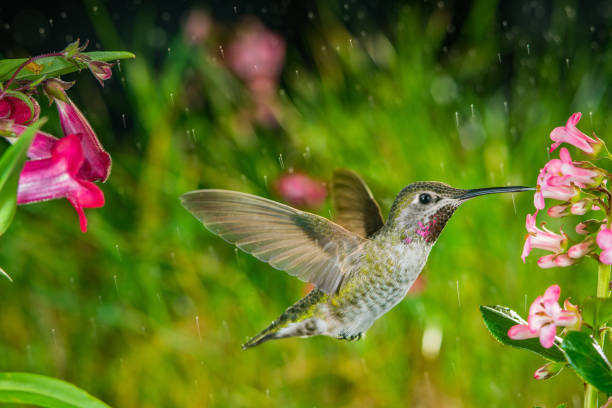 Hummingbird visits pink small flowers in some drizzle stock photo