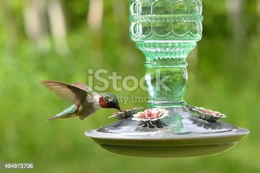 red and white green hummingbird in flight, side view, watering is in a trough