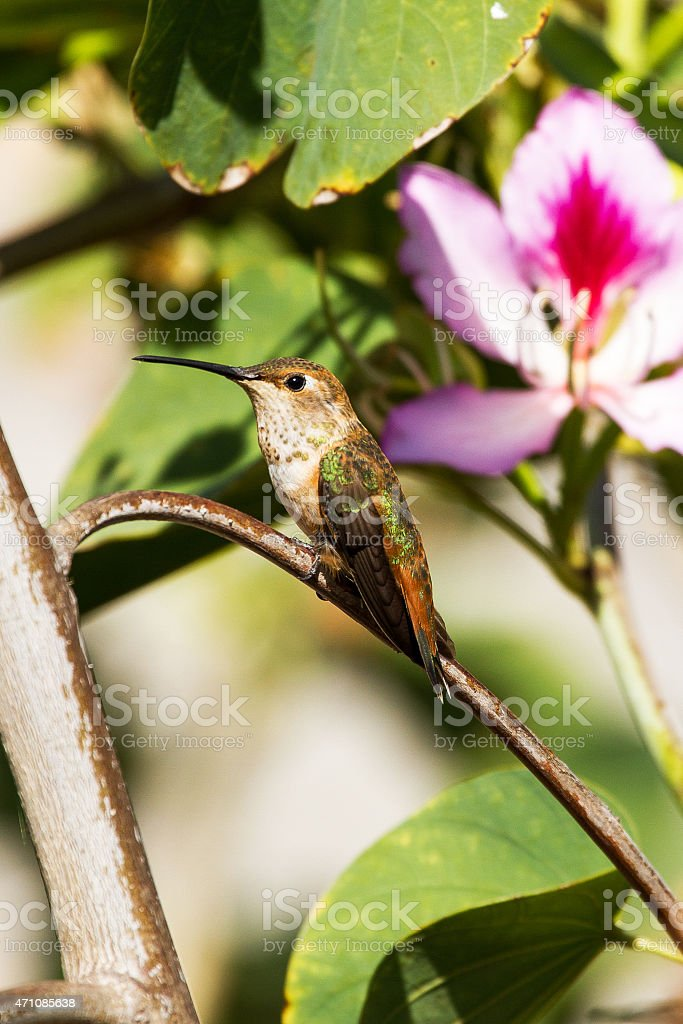 Hummingbird with Flower stock photo