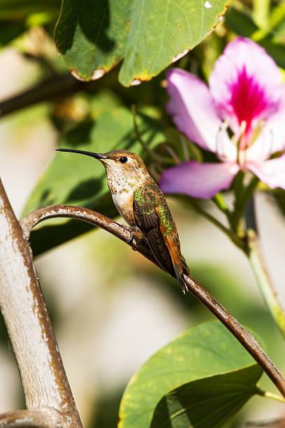 Hummingbird with Flower stock photo