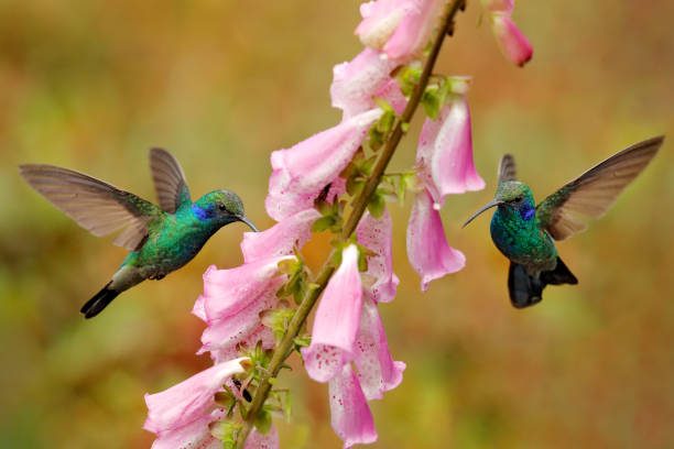 Hummingbird with pink bloom in forest habitat. Green Violet-ear, Colibri thalassinus, flying in the nature tropical wood habitat, red flower, Tapanti NP, Costa Rica. Wildlife scene from jungle. stock photo