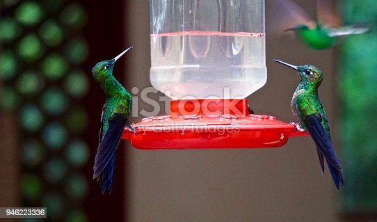 two green and blue Hummingbirds perched at plastic feeder