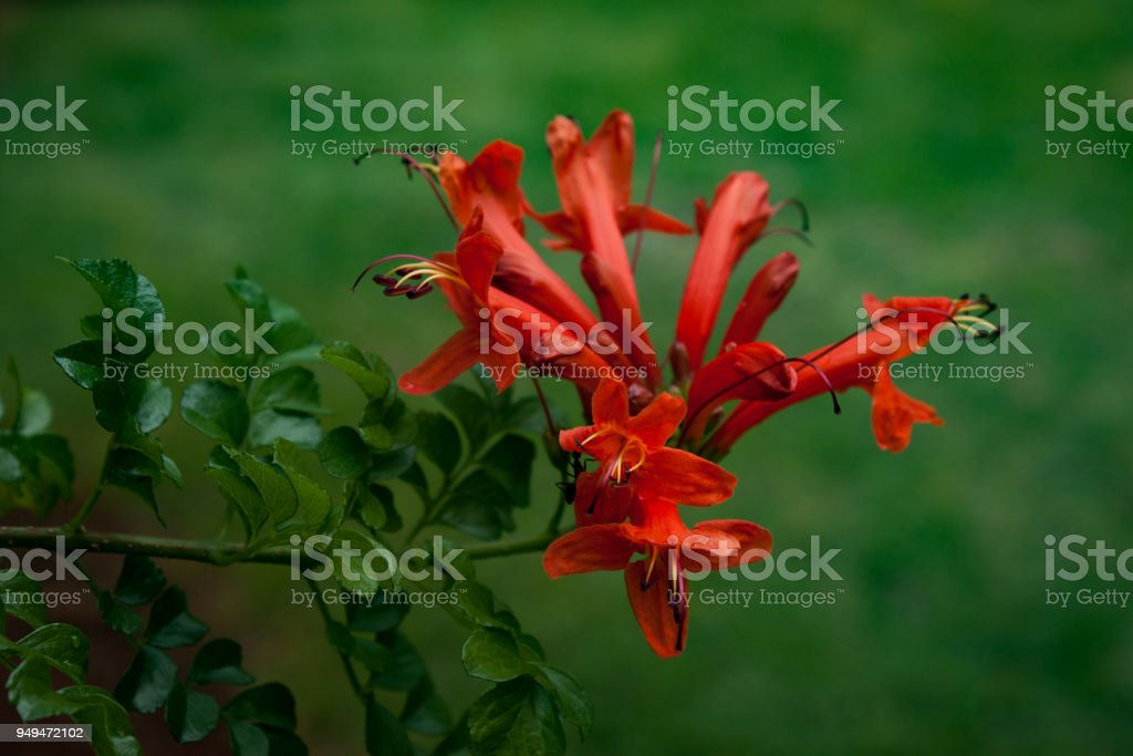 Hummingbirds attracting: masses of orange to deep red flowers at one lighting garden. Selective focus on beautiful flowering Cape honeysuckle against blurred green background. stock photo