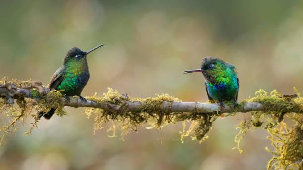 hummingbirds stock photo