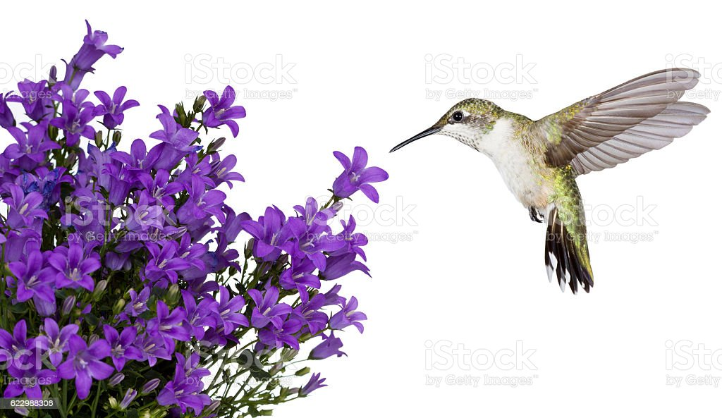hummingbirds positioned over a purple bellfower stock photo