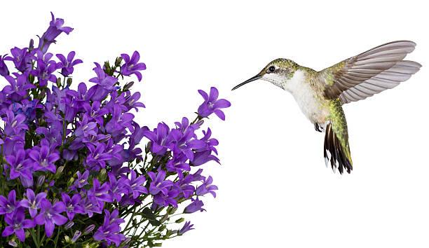 hummingbirds positioned over a purple bellfower - kolibri bildbanksfoton och bilder