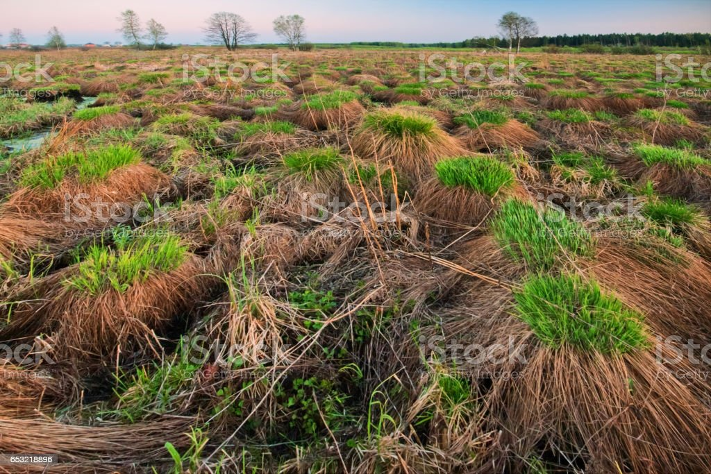 hummocks of grass in the field stock photo