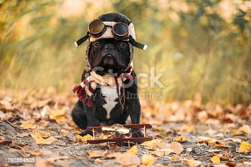 Humorous french bulldog in a cap and goggles of a pilot on a background of grass