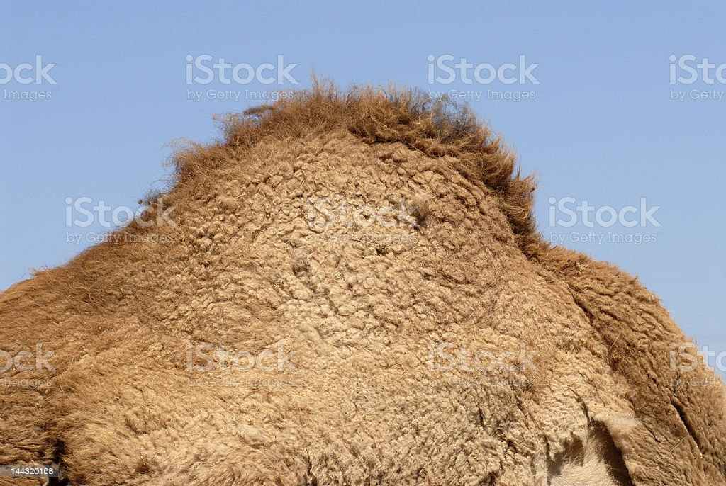 Hump of dromedary stock photo