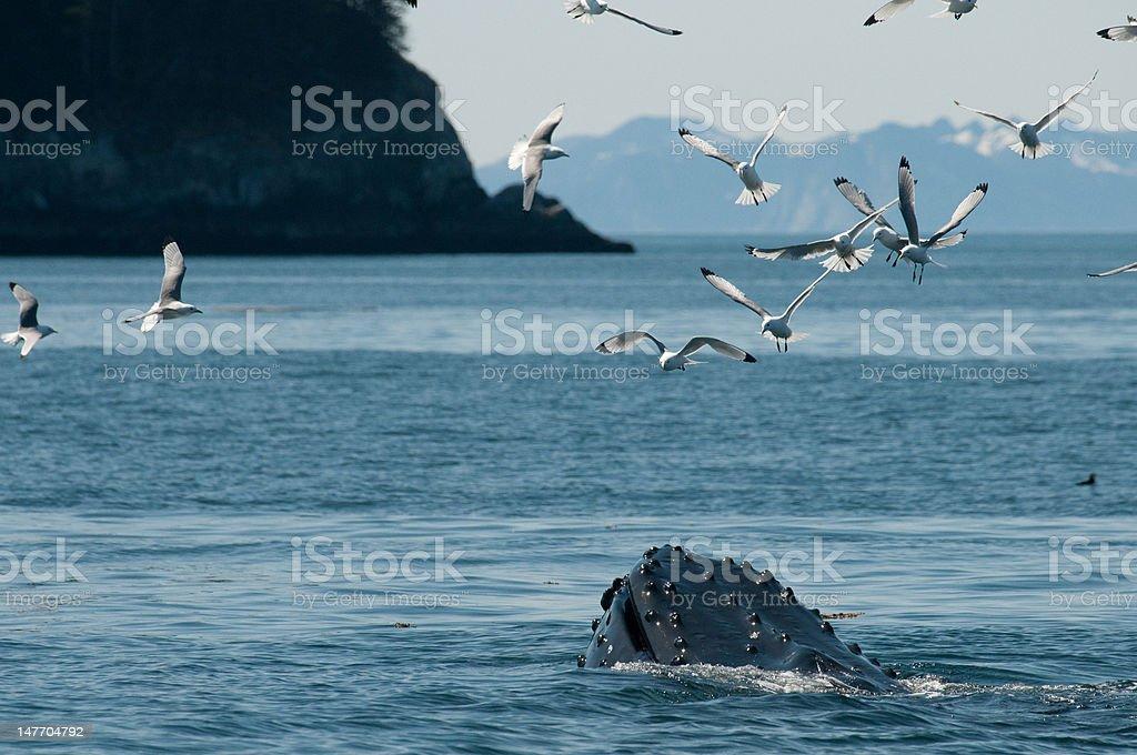 Humpback and Guls feeding stock photo