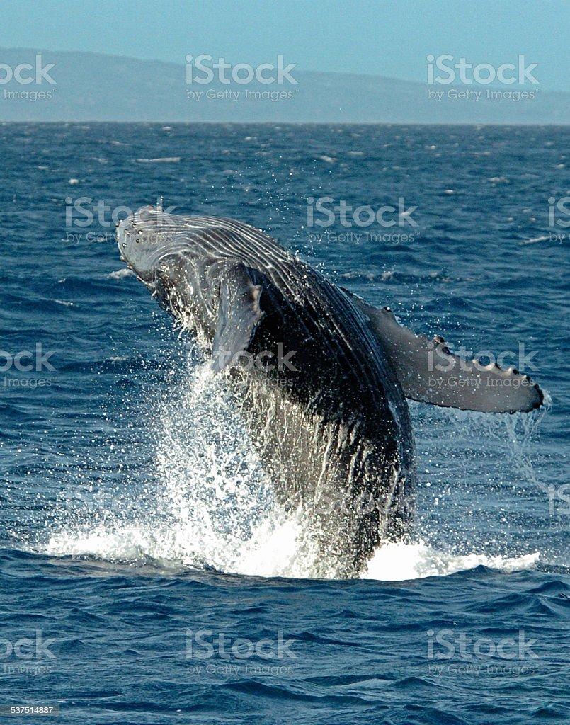 Humpback Breach stock photo