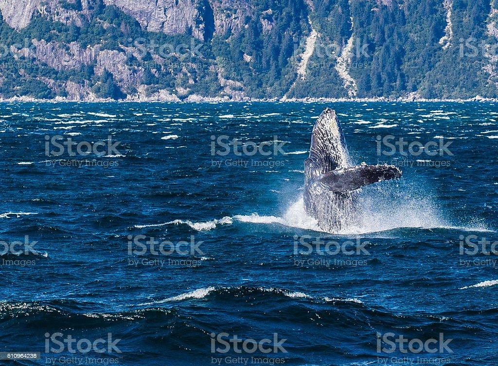 Humpback breaching in Alaska stock photo