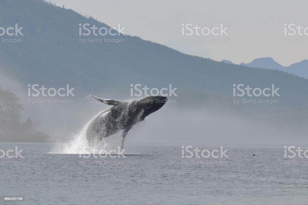 Humpback Breech stock photo