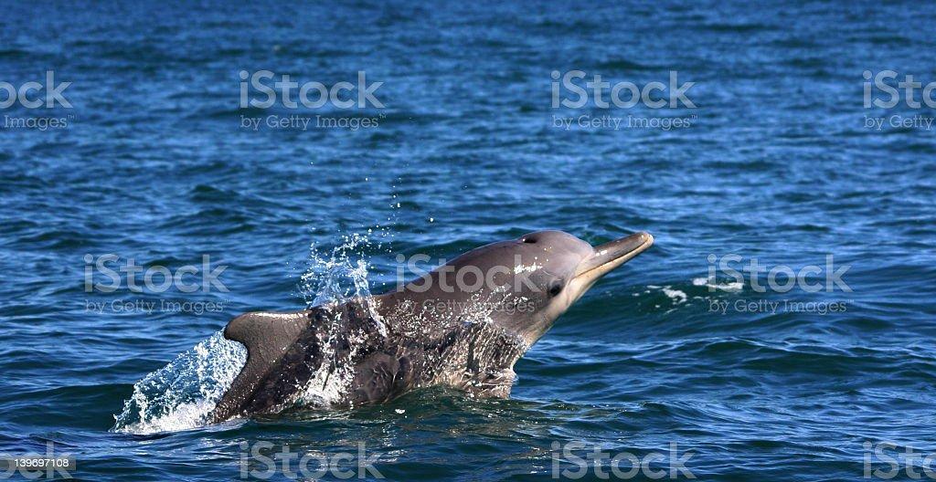 Humpback Dolphin surfacing royalty-free stock photo