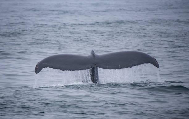 Humpback Fluke Off Monterey stock photo