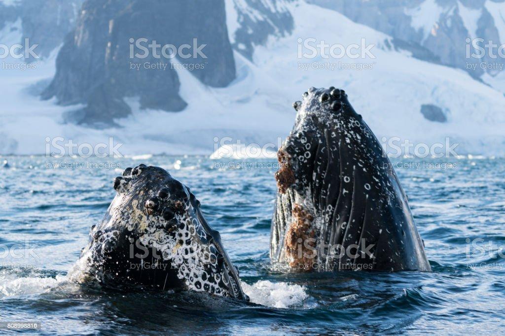 Buckelwale Gruß – Foto