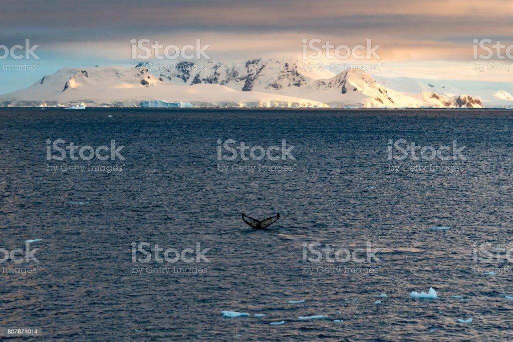 Buckelwale in der Antarktis – Foto