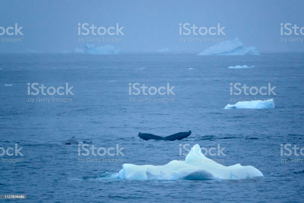 Humpback pair feed among Hydrurga Rocks icebergs Gerlache Strait Antarctica stock photo