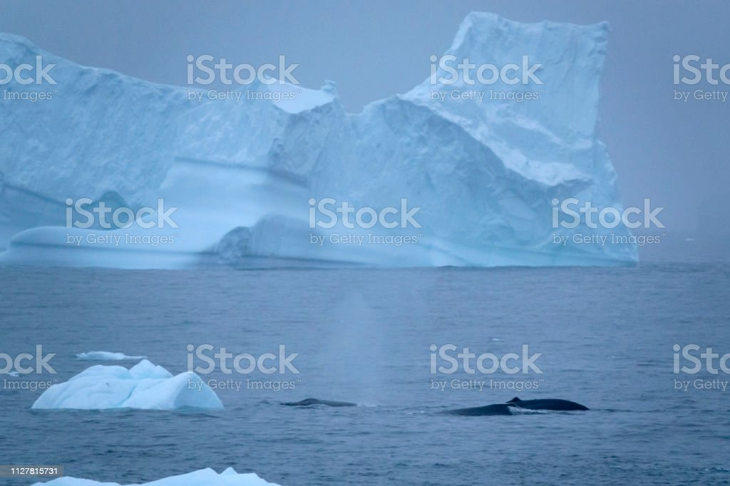 Humpback trio feed among Hydrurga Rocks icebergs Gerlache Strait Antarctica stock photo