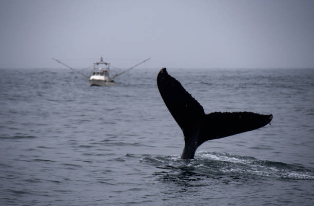 Humpback Whale and Fishing Boat stock photo