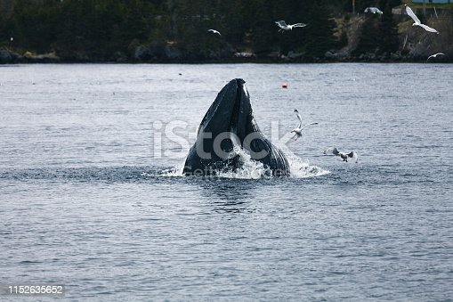 Humpback whale and gulls feeding on herring in the sheltered, calm North Arm of Holyrood, Newfoundland and Labrador, Canada.