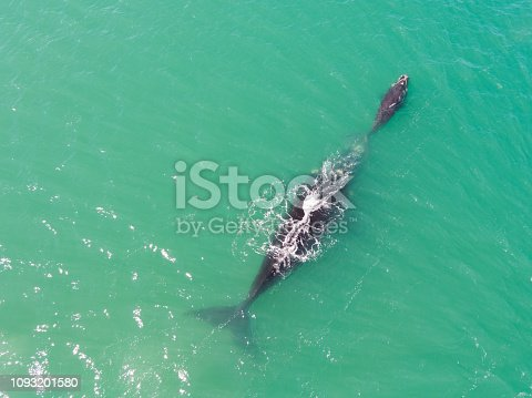 A mother and baby Humpback whale swimming in the bay near Cape Town South Africa