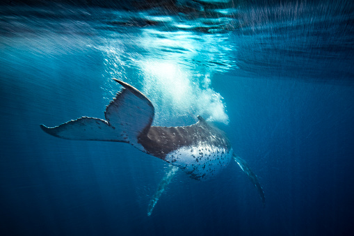 Humpback whale blowing bubbles and swimming away motion blur