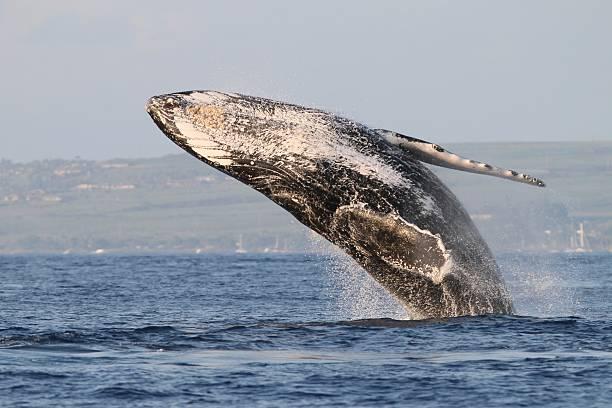 Humpback Whale Breach off Maui stock photo