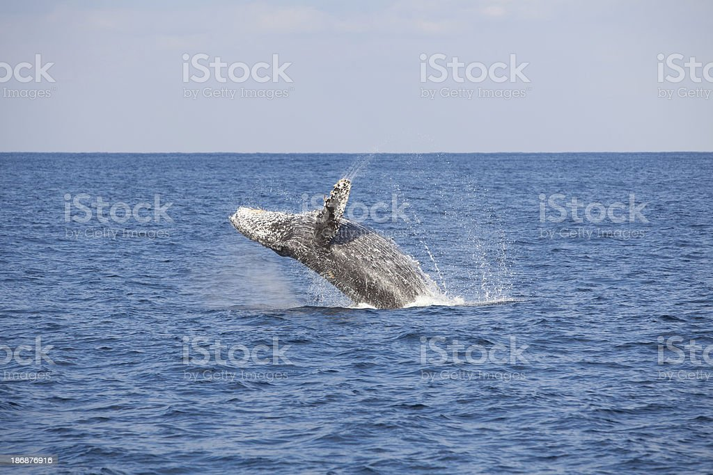 Humpback Whale Breach royalty-free stock photo